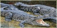 Miri Crocodile Farm