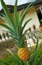 Pineapple Museum